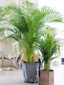 Chrysalidocarpus kamerplant